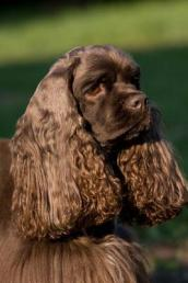A Chocolate Brown American Cocker Spaniel Dog Journal