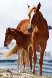 A Mother Horse and Her Baby Foal Grand Turk Island Turks & Caicos Journal
